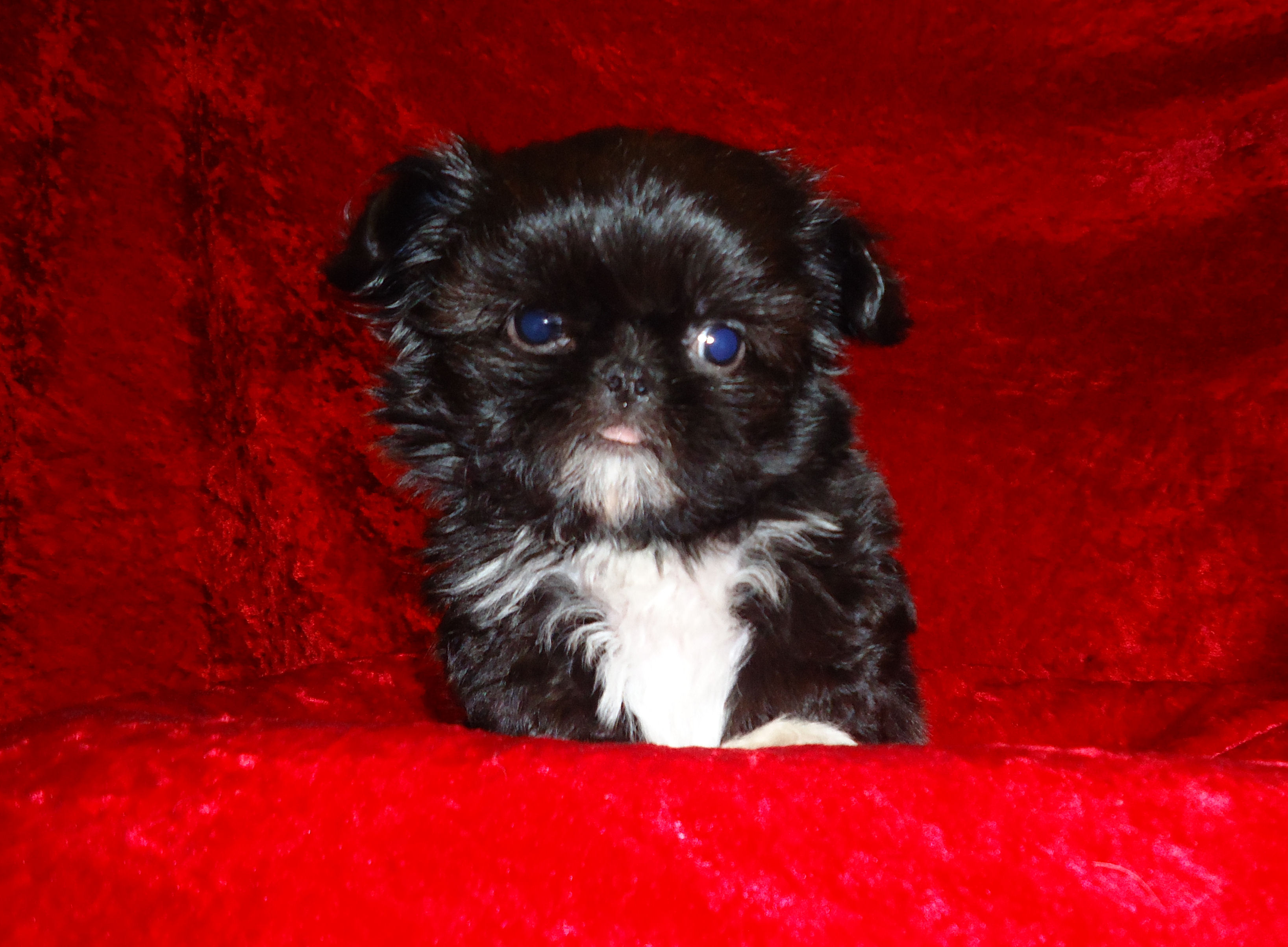 Sumora Chinese Imperial Shih Tzus Los Angeles Ca 90044 Akrossinfo